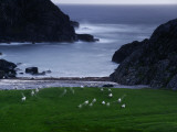 A Flock of Sheep Graze on Seaweed on Iona's Beach Photographic Print by Jim Richardson
