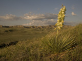 A Yucca Plant Grows on the Little Missouri National Grasslands Lámina fotográfica por Phil Schermeister