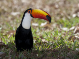 Portrait of a Toco Toucan, Ramphastos Toco, on the Ground Photographic Print by Roy Toft