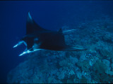 A Graceful Manta Ray Swimming over the Great Astrolabe Reef Photographie par Tim Laman