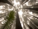 Coast Redwood Trees, Sequoia Sempervirens, in Fog Lámina fotográfica por Schermeister, Phil