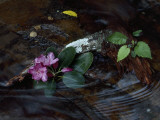Catawba Rhododendron Blossom in a Mountain Stream in Hanging Rock State Park, North Carolina Photographic Print by Raymond Gehman