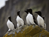 The Shaint Islands are Breeding Grounds for Razorbills Photographic Print by Jim Richardson