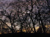 Sunset Through Silhouetted Trees Fotografisk tryk af Raymond Gehman