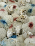 A Flock of Sheep with Dye Markings Photographic Print by Jim Richardson