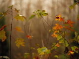 Maple Saplings with Hints of Autumn Color Fotografisk tryk af Raymond Gehman
