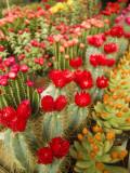 Flowering Cactus Plants for Sale at a Street Market Photographie par Richard Nowitz