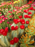 Flowering Cactus Plants for Sale at a Street Market Photographic Print by Richard Nowitz