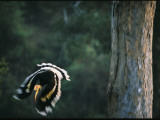 A Male Great Hornbill Swoops Down to Forage in the Rain Forest Photographie par Tim Laman