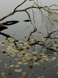 The Branch of a Tree Reflected on a Pond with Water Lily Pads Photographic Print by Todd Gipstein