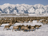 A Herd of Elk Moving Through the Snow Covered Rangeland of the National Elk Refuge Photographic Print by Raymond Gehman