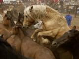 Corraled Wild Horses at La Rapa Das Bestas Festival Photographic Print by Jim Richardson