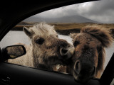 Wild Moor Ponies Poke their Heads into a Car Photographic Print by Jim Richardson