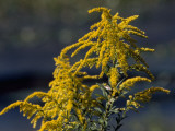 Close Up of Goldenrod Flowers Fotografisk tryk af Raymond Gehman