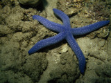 A Close View of a Blue Sea Star, Linckia Laevigata, on the Sea Floor Photographic Print by Tim Laman