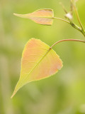 Close Up of New Leaves Growing on a Plains Cottonwood Tree Photographic Print by Phil Schermeister