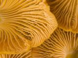 Chanterelle Mushrooms Found in the Kronotsky Nature Reserve Fotografisk trykk av Michael Melford