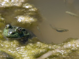 A Bullfrog, Rana Catesbeiana, and Mosquito Fish in a Pond Photographic Print by Rich Reid