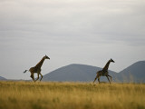 Giraffes Running on the Savanna Photographic Print by Beverly Joubert