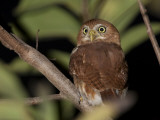 A Ferruginous Pygmy Owl, Glaucidium Brasilianum, on a Tree Branch Photographic Print by Roy Toft
