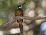 Portrait of a Rufous-Tailed Jacamar, Galbula Ruficauda, in a Tree Photographic Print by Roy Toft