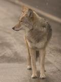 Close Up of a Coyote Standing in the Road While it Is Snowing Photographic Print by Phil Schermeister
