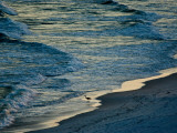 A Great Blue Heron Walking on the Beach Photographic Print by Jodi Cobb
