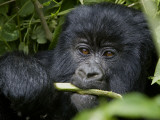 A Juvenile Gorilla Eating a Stalk Photographic Print by Beverly Joubert