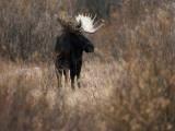 A Bull Moose Near the Snake River Photographic Print by Raymond Gehman