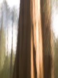 Two Giant Sequoias Capture the Light in the Merced Grove in Yosemite Photographie par Phil Schermeister