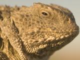 Short-Horned Lizard Found in the Little Missouri National Grasslands Photographic Print by Phil Schermeister