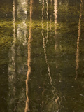 Tree Trunks are Reflected in Yosemite Creek in Yosemite Valley Photographic Print by Phil Schermeister