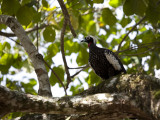 Portrait of a Black-Fronted Piping-Guan, Aburria Jacutinga, in a Tree Photographic Print by Roy Toft