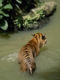 A Captive Sumatran Tiger, Panthera Tigris Sumatrae, in a Water Pond Photographic Print by Tim Laman