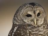 Barred Owl (Strix Varia) Fotoprint van Joel Sartore
