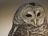 Barred Owl (Strix Varia) Photographic Print by Joel Sartore