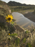 Plains Sunflower Grows Near the Little Missouri River Photographic Print by Phil Schermeister
