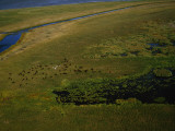 Bison Graze and Rest in the Green of the Peace-Athabasca Delta Photographic Print by Raymond Gehman