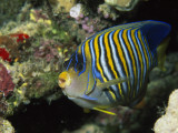 A Side View of a Regal Angelfish, Pygoplites Diacanthus Fotografisk tryk af Tim Laman