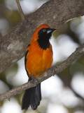 An Orange-Backed Troupial, Icterus Croconotus, Perched in a Tree Photographie par Roy Toft