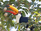 Toco Toucan, Ramphastos Toco, Eating Palm Nuts Photographic Print by Roy Toft