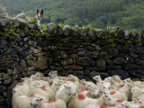 A Flock of Sheep with Dye Markings in a Pen and a Shepherd Dog Photographic Print by Jim Richardson