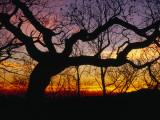 Sunset Through Silhouetted Oak Trees Fotografisk tryk af Raymond Gehman