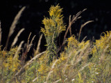 Goldenrod Flowers and Prairie Grass Photographic Print by Raymond Gehman