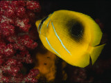 A Bennett's Butterfly Fish Swimming Near Pink Soft Coral Fotografisk tryk af Tim Laman