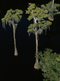 Spanish Moss Drips from Trees in the Suwannee River Photographic Print by Jodi Cobb