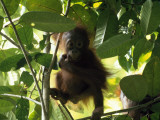 A Baby Orangutan, Pongo Pygmaeus, in a Tree Photographic Print by Tim Laman