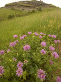 Wild Bergamot Flowers Grow in Little Missouri National Grasslands Photographic Print by Phil Schermeister