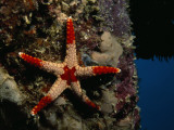 A Red-Tipped Sea Star, Fromia Monilis Photographic Print by Tim Laman