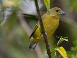 Portrait of a Female Violaceous Euphonia Perched in a Tree, Argentina Photographic Print by Roy Toft